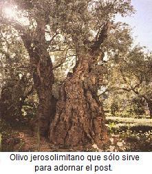 olivos1