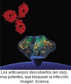 Hallan-dos-anticuerpos-que-neutralizan-el-virus-del-sida
