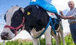 El-gas-de-las-vacas-puede-alimentar-el-motor-de-un-coche
