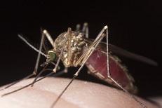 Mosquito cojonero