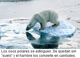 el-oso-polar-se-extinguira